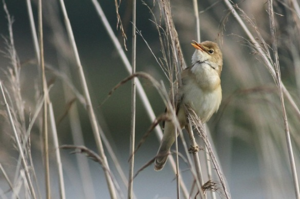 Reed warbler singing, in Groene Jonker, 1 June 2014