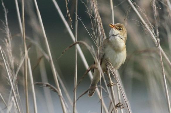 Reed warbler singing, in Groene Jonker, 1 June 2014