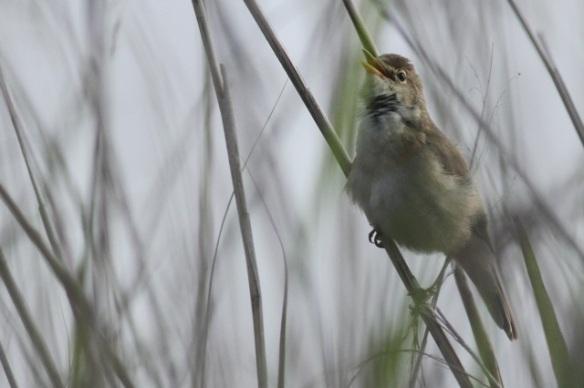 Reed warbler singing, in the Groene Jonker, 1 June 2014