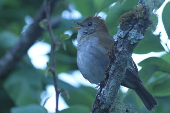 Ruddy-capped nightingale thrush, 28 March 2014
