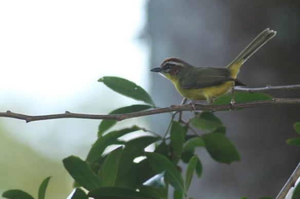 Rufous-capped warbler, 28 March 2014