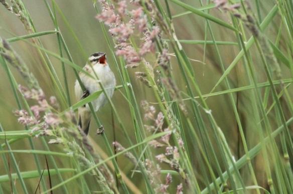 Sedge warbler singing, Groene Jonker, 1 June 2014