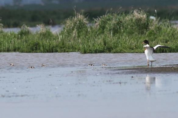 Shelduck with ducklings, 1 June 2014