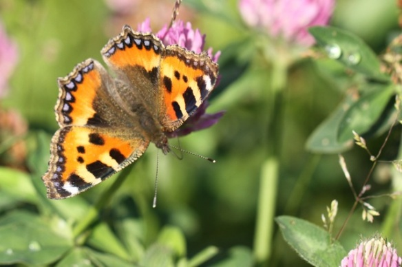 Small tortoiseshell, Losdorp, 8 June 2014