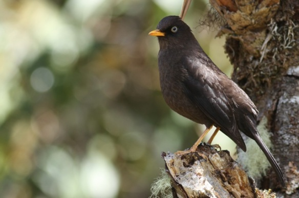 Sooty thrush, 28 March 2014