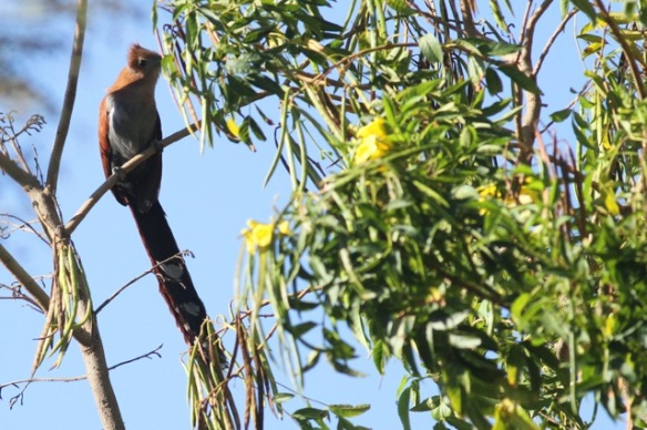 Squirrel cuckoo, 29 March 2014