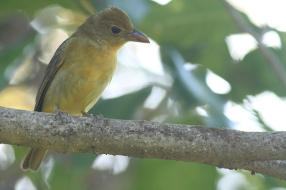Summer tanager female, 29 March 2014