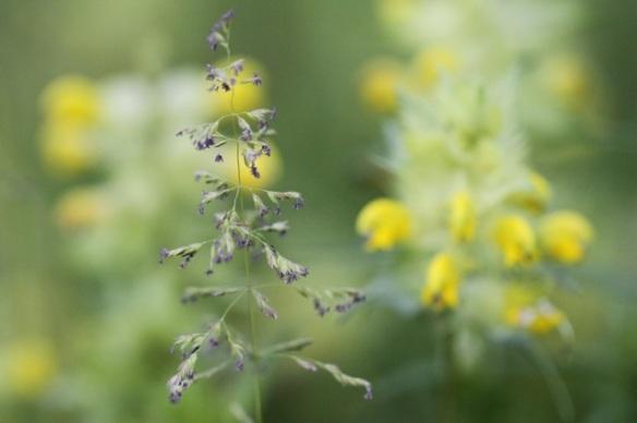 Grass flowering, 31 May 2014