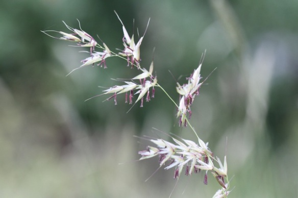 Tall oat-grass close-up, 31 May 2014