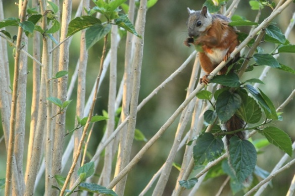 Variegated squirrel, 28 March 2014
