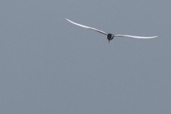 Whiskered tern, 1 June 2014