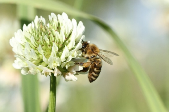 White clover flower with bee, 8 June 2014
