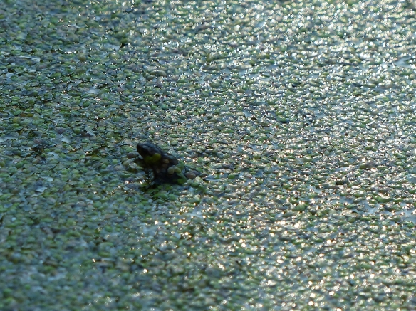 Young common frog, The Hague, June 2014