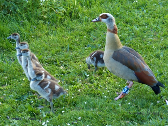 Young Egyptian geese and their mother, June 2014