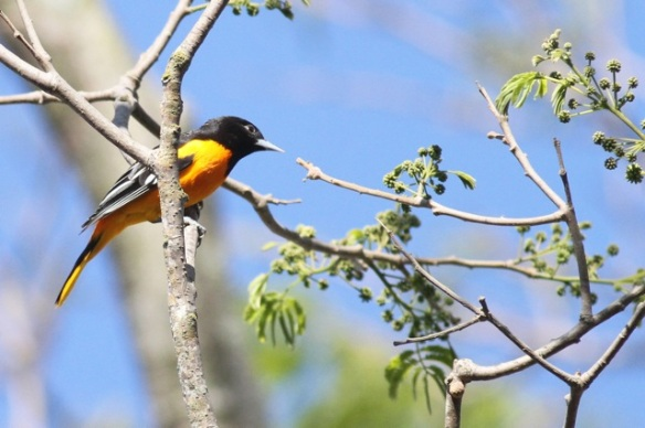 Baltimore oriole male, 30 March 2014