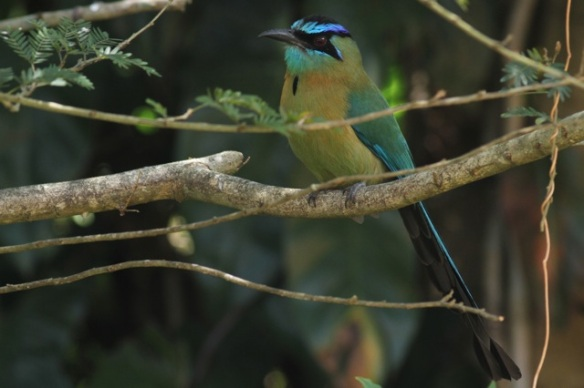 Blue-crowned motmot, 30 March 2014