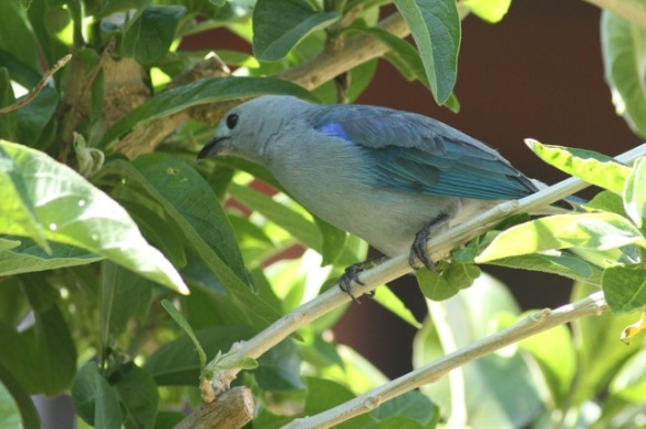 Blue-grey tanager, 30 March 2014