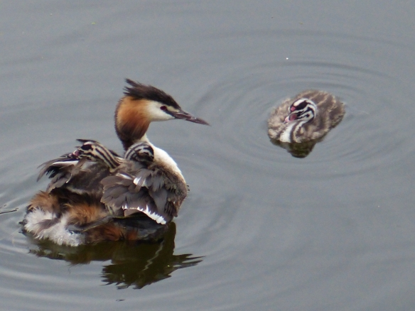 Great crested grebe and chicks, The Hague 2014