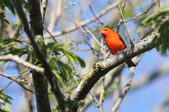 Summer tanager male, 30 March 2014