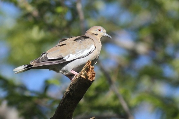 White-winged dove, 30 March 2014