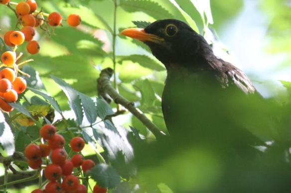 Blackbird male and rowan berries, 4 August 2014