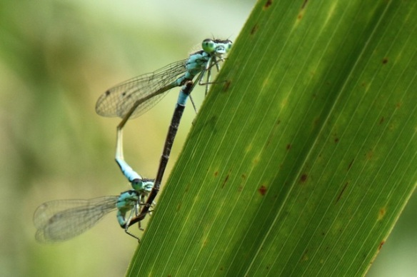 Blue-tailed damselflies, 2 August 2014