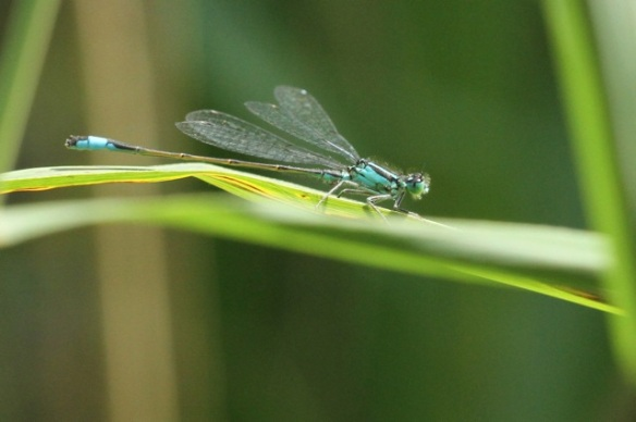 Blue-tailed damselfly, 2 August 2014