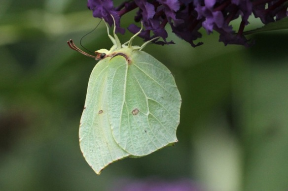 Brimstone butterfly, 2 August 2014