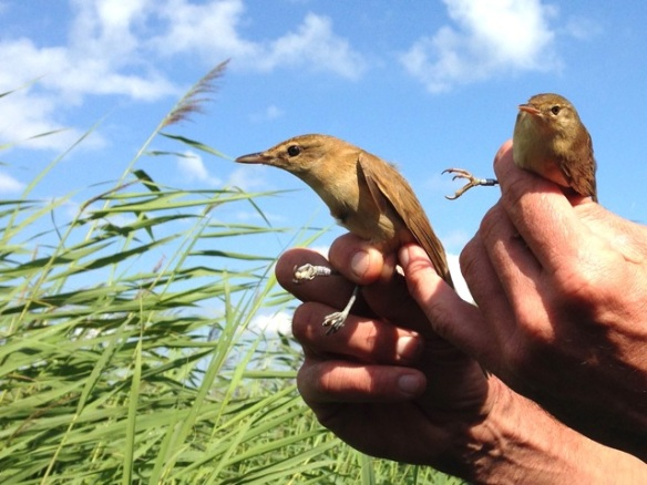 Great reed warbler and Eurasian reed warbler, in Oostvaardersplassen, on 23 August 2014