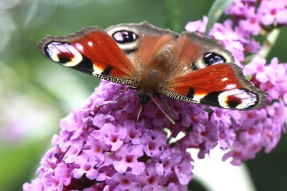 Peacock butterfly, 2 August 2014