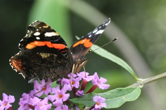 Red admiral, 2 August 2014