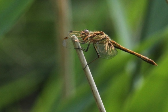 Ruddy darter female, 4 August 2014