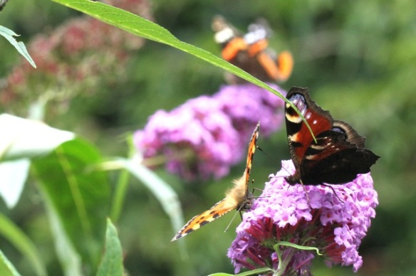 Small tortoiseshell and peacock, 2 August 2014