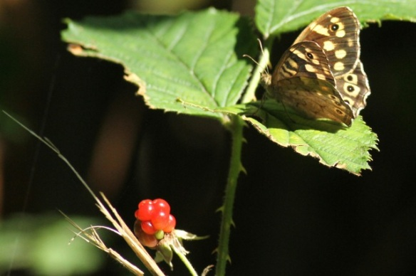 Speckled wood, 4 August 2014
