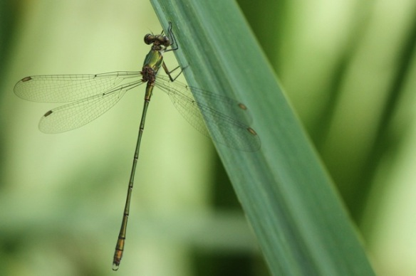 Willow emerald damselfly, 2 August 2014