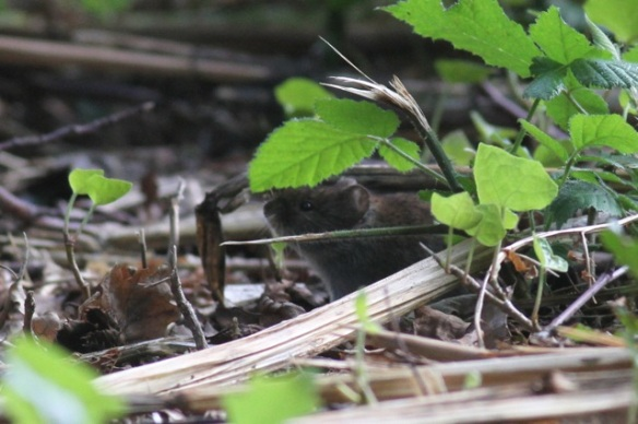 Wood mouse, 4 August 2014