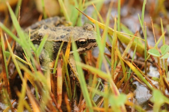 Common frog, 6 September 2014