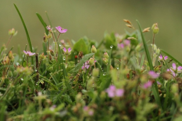 Common storksbill and red pimpernel, 6 September 2014