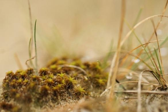 Great hairy screw-moss, 6 September 2014