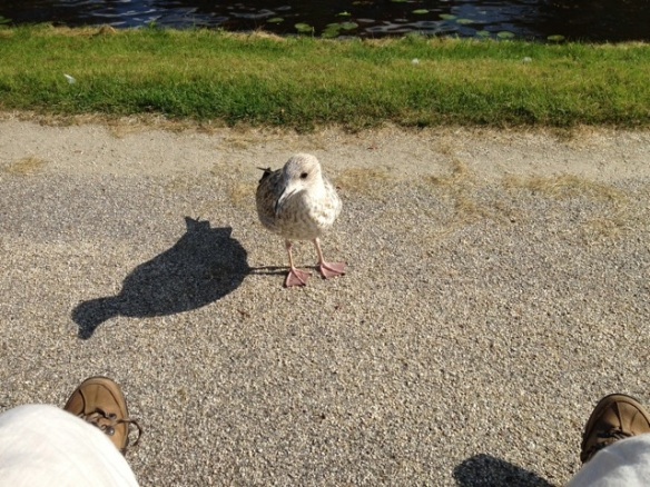 Herring gull, 8 September 2014