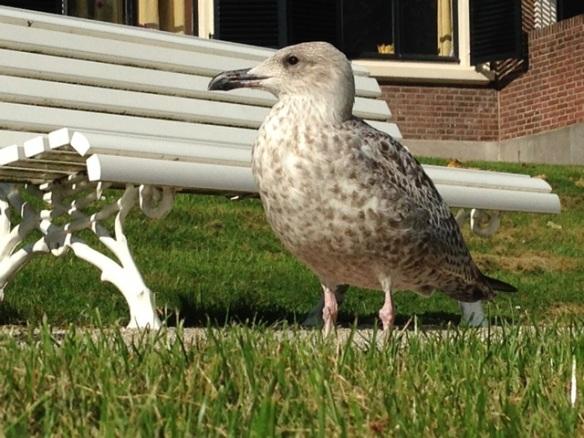 Herring gull and bench, 8 September 2014
