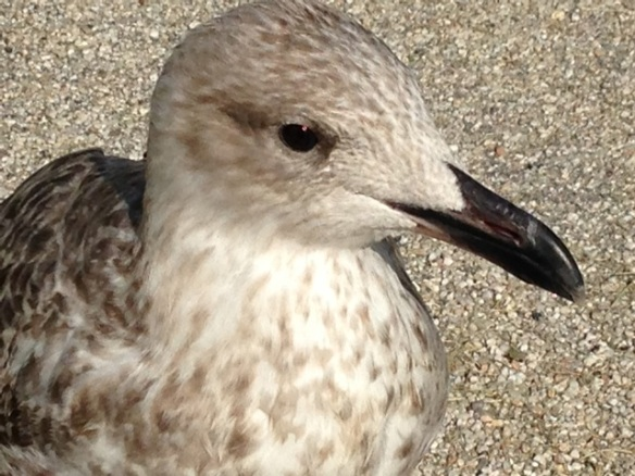Herring gull close up, on 8 September 2014