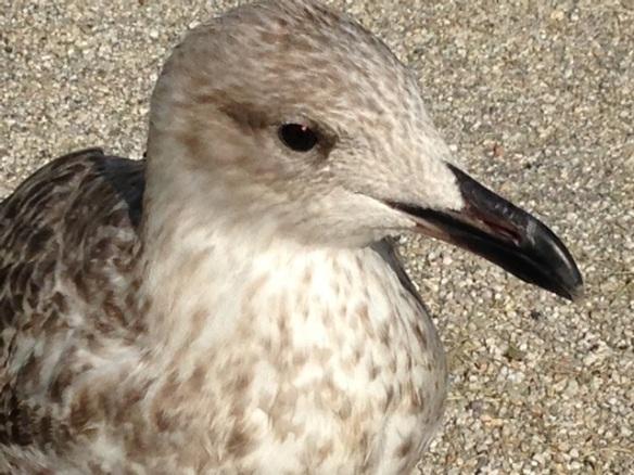 Herring gull close up, on 8 September 2014