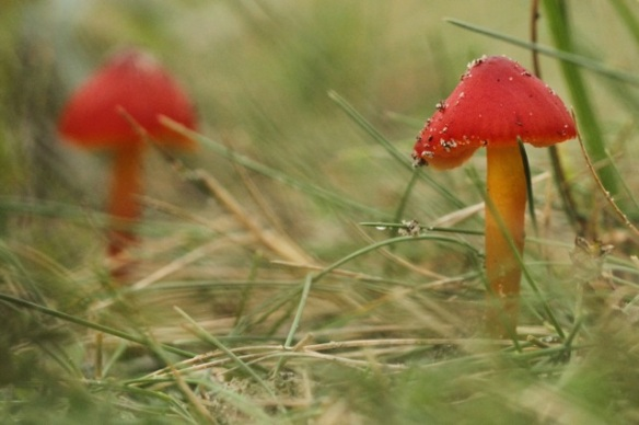 Hygrocybe sp., in Kikkervalleien, 6 September 2014