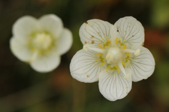 Marsh grass-of-Parnassus, four stamina, 6 September 2014