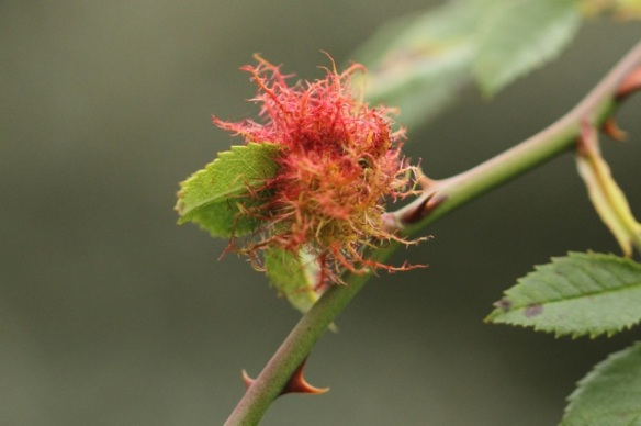 Small rose bedeguar gall, 6 September 2014