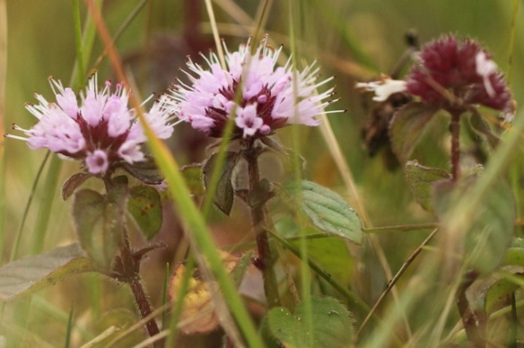 Water mint, 6 September 2014