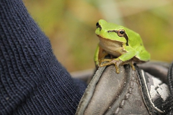 Young tree frog, Meijendel, 6 September 2014