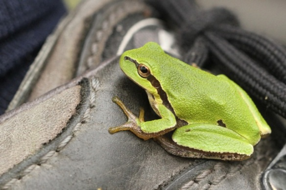 Young tree frog on shoe, Meijendel, 6 September 2014