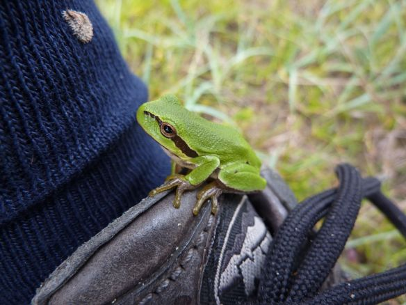 Young tree frog still on shoe, Meijendel, 6 September 2014